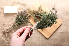 Bunch of thyme in female hand Royalty Free Stock Image
