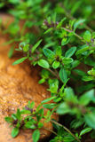 Bunch of Thyme. In the garden Royalty Free Stock Images