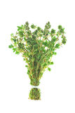 Bunch of Thyme. Isolated on White Background Royalty Free Stock Photo