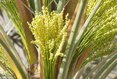 Bunch of tiny green dates buds in date palm tree Stock Photo