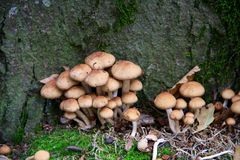 A bunch of Toadstools. Toadstools growing at bottom of tree trunk Stock Photo