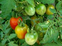 Bunch of tomatoes Royalty Free Stock Photos