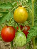 Bunch of tomatoes Royalty Free Stock Photo