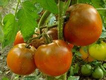 Bunch of tomatoes Stock Image