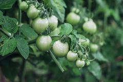Bunch of tomatoes green Royalty Free Stock Images