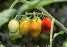 Bunch of tomatoes. Bunch of home garden tomatoes hanging on a bush Royalty Free Stock Photos