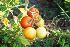 Tomatoes looking so delicious and hanging on a branch. Bunch of tomatoes looking so delicious and hanging on a branch Stock Photo