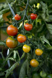 Bunch of tomatoes - 03 Stock Images