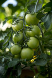 Bunch of tomatoes - 02 Royalty Free Stock Photography