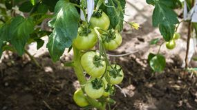 Bunch tomatoes ripening in the sun royalty free stock image