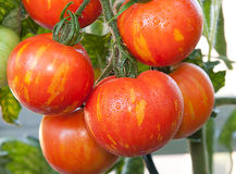 Bunch of Tomatoes on Vine Royalty Free Stock Images