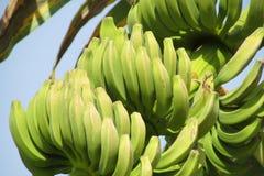 Bunch of tropical green bananas royalty free stock image