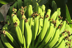 Bunch of tropical green bananas Royalty Free Stock Images