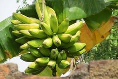 Bunch of tropical green bananas stock photo