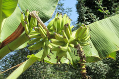 Bunch of tropical green bananas Stock Images