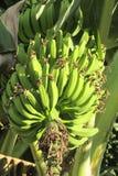 Bunch of tropical green bananas stock photography