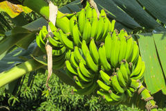 Bunch of tropical green bananas Royalty Free Stock Photography