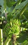 Bunch of tropical green bananas Stock Image