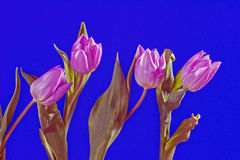 Bunch of tulip flowers Royalty Free Stock Image