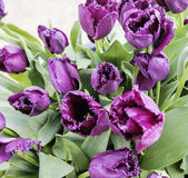 Bunch of tulip flowers close up for background, flowerbed untypical macro view Royalty Free Stock Photography