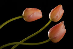 Bunch of tulips 5 Royalty Free Stock Photos