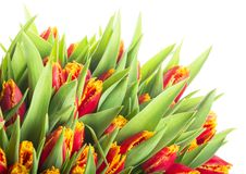 Bunch of tulips isolated on white background Royalty Free Stock Image