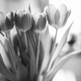 A bunch of tulips in the morning light. Bunch of tulips in the morning light- see-through leaves and tepals, black and white photo Royalty Free Stock Image