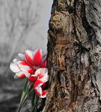 Bunch of tulips next to the old tree. Stock Photo