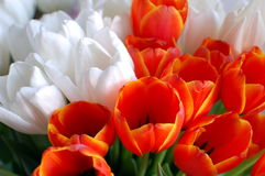 Bunch of tulips. Bunch of red and white  tulips close up Stock Photography