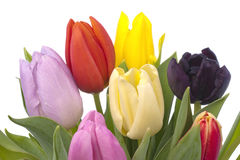 Bunch of Tulips on white background Royalty Free Stock Photos