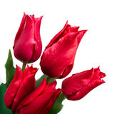 Bunch of tulips on white background Stock Image