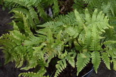 Bunch of Twisted green nursery ferns. Swarming the picture royalty free stock photo