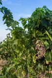 Bunch of unripe blue grapes stock images