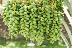 Bunch of unripe Date palm (Phoenix dactylifera) Stock Image