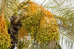 Bunch of unripe dates Stock Photography
