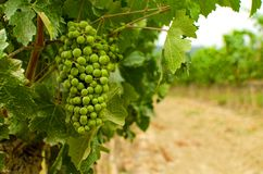 Bunch of unripe grape stock images