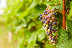 Bunch of unripe grapes Royalty Free Stock Images