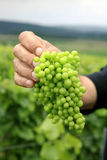 Bunch of unripe green grapes Royalty Free Stock Photos