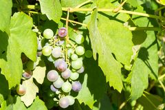 Bunch of unripe red wine growing in the garden Royalty Free Stock Photography