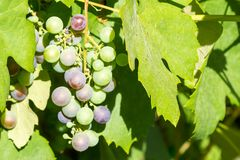 Bunch of unripe red wine growing in the garden Stock Photo