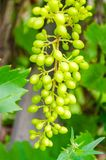 Bunch of unripe red wine growing in the garden Royalty Free Stock Photos