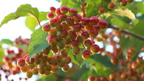 Bunch of unripe viburnum stock footage