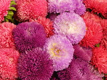 A bunch of various blossoming asters as a flower background. The photo made at the flower exhibition in 2013 Royalty Free Stock Images