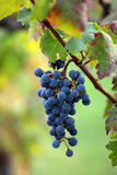 Bunch of velvety black grapes. Photo closeup of beautiful heavy ripen bunch of velvety black grapes sweet juicy fruit hanging on grapevine green and red leaves Stock Photography