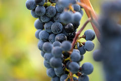 Bunch of velvety black grapes Royalty Free Stock Photos