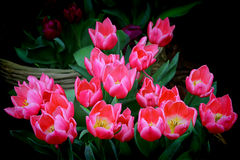 Bunch of vibrant pink tulips Stock Photography