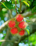 Bunch of Vibrant Red Color Ripe Rambutan Fruits on the tree in the Plantation, Rayong Province, Thailand Royalty Free Stock Photos