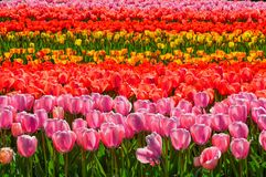 Bunch of Vibrant Tulips. Random click of some vibrantly colorful Tulips exclusively from Holland stock photography