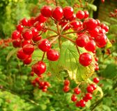 Bunch of viburnum Royalty Free Stock Images