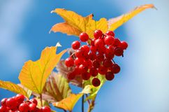 Bunch of Viburnum. Stock Photos